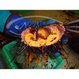 Il miglior riccio di mare da mangiare crudo