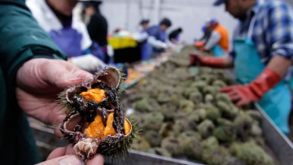 Riccio di mare dal Canada congelato per sushi