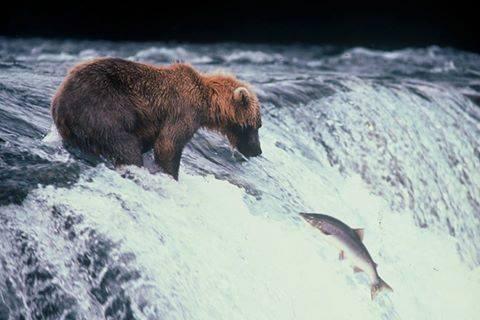 Salmoni in natura